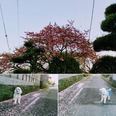 さくら/うちの子ベストショット/LIMIAペット同好会/LIMIAおでかけ部/フォロー大歓迎/ペット/... 🐩のお花見🌸🍶✨  気になっていた桜を🐩…