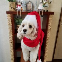 ペット/ペット仲間募集/犬/わんこ同好会/クリスマス/雑貨/... X'mas🐶 (。・_・。)ノハーイ ホ…(2枚目)