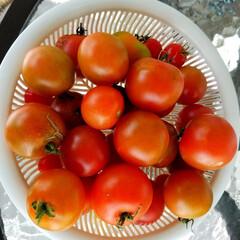 トマト/収穫/野菜/家庭菜園/風景/グルメ/... 🍅寒くなっても健気に熟れてます✨🎵 フル…