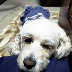 おやすみショット/LIMIAペット同好会/フォロー大歓迎/ペット/ペット仲間募集/犬/... 🐩今日は足先のみのトリミングに行って来た…(4枚目)