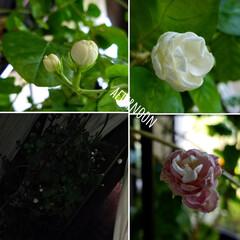 庭の花/テラスの花/テラス/ししとう/八重のくちなし/くちなし/... 中間報告~(*´艸`*)💕 無事☝パッシ…(8枚目)