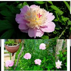 変わった花/多肉植物/ソルベット/シャクヤク/芍薬/サボテンの花/... こんばんは😃🌃 kakaさ~ん🎵 何とか…(2枚目)