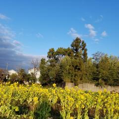 散歩道/春の花/LIMIAペット同好会/LIMIAおでかけ部/フォロー大歓迎/ペット/... 春だよ、全員集合🎵  桜*菜の花*土筆*…(5枚目)