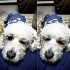 おやすみショット/LIMIAペット同好会/フォロー大歓迎/ペット/ペット仲間募集/犬/... 🐩今日は足先のみのトリミングに行って来た…
