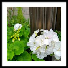 グリーン/玄関/ガーデニング/葵/花  葵 母から貰った花で、お気に入りです🎵…