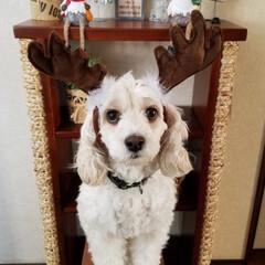 いぬのトナカイ/ペット/ペット仲間募集/犬/わんこ同好会/クリスマス/... 🐶うちの子ベストショットに応募しまーす🐾…