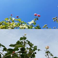 白から紅へ/一日花/酔芙蓉/ガーデン/花/庭/... 酔芙蓉 下の段は、朝の状態で🌺は、白く …