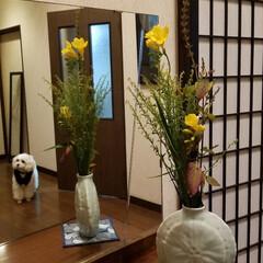 玄関の花/花/🍘/花のある暮らし/犬のいる暮らし/生け花 玄関に出迎えのお華💐  フリージアの薫り…