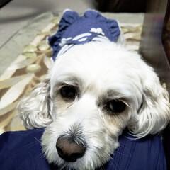おやすみショット/LIMIAペット同好会/フォロー大歓迎/ペット/ペット仲間募集/犬/... 🐩今日は足先のみのトリミングに行って来た…(3枚目)