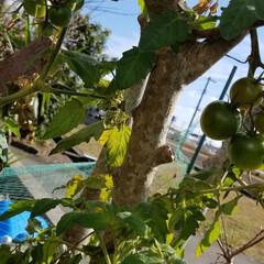 トマト/収穫/野菜/家庭菜園/風景/グルメ/... 🍅寒くなっても健気に熟れてます✨🎵 フル…(3枚目)