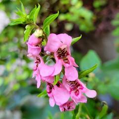 花のある暮らし/庭のある暮らし/茗荷の花/花好き/花/花を楽しむ/... たいへん☝️💦お待たせしました‼️  【…(4枚目)