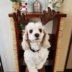 ペット/ペット仲間募集/犬/わんこ同好会/クリスマス/雑貨/... X'mas🐶 (。・_・。)ノハーイ ホ…