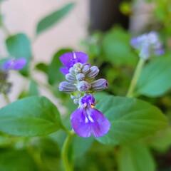花のある暮らし/庭のある暮らし/茗荷の花/花好き/花/花を楽しむ/... たいへん☝️💦お待たせしました‼️  【…(5枚目)