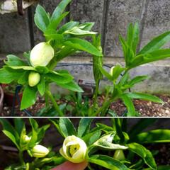 花/庭/クリスマスローズ🥀/ガーデニング/花のある暮らし/ガーデン雑貨/... 庭のクリスマスローズ🥀  ほぼ全種咲き出…(6枚目)
