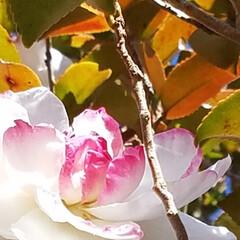山茶花/冬の庭の風景/冬/おうち/ペット/ペット仲間募集/... 冬の風景 庭の山茶花達♥️🐩 1~8枚目…(5枚目)