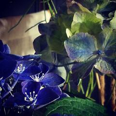 紫陽花/華/花のある暮らし/リビングあるある/暮らし 先日、一目惚れした紫陽花を我が家のliv…