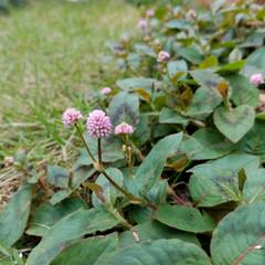 小花/庭/ガーデニング/住まい 庭 お天気が、安定しつつあるのか庭のPI…