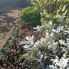 庭/花/ガーデニング/お正月2020/【PR】LIMIAcamp/住まい/...    お庭の花🌼 ♪ヽ(´▽`)/💠🏵️…