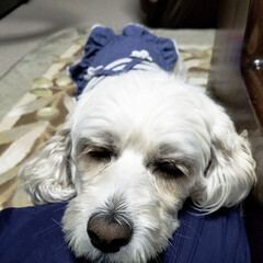 おやすみショット/LIMIAペット同好会/フォロー大歓迎/ペット/ペット仲間募集/犬/... 🐩今日は足先のみのトリミングに行って来た…(5枚目)