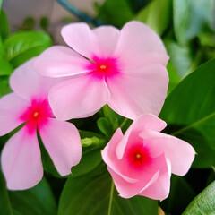 花のある暮らし/庭のある暮らし/茗荷の花/花好き/花/花を楽しむ/... たいへん☝️💦お待たせしました‼️  【…(7枚目)