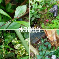 ガーデン/花/庭/金柑/🍘 最近のお庭です☝ 同じ🌺🍊🌳等の投稿です…(1枚目)
