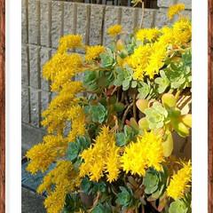 黄色/多肉植物/花/グリーン 今年も見事に咲きました🌷