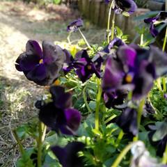 ガーデン/黒のビオラ/花/庭/フォロー大歓迎/風景/... 黒ビエラ❓  買った日は、曇りで…👀黒の…