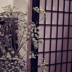ボタニカル/花/生ける/ハーブ/グルメ/フード/... 今週のお出迎えの花 フェンネル  庭のフ…