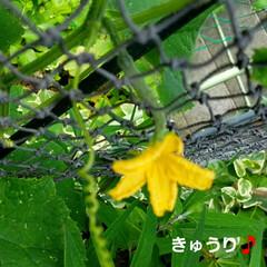庭の花/テラスの花/テラス/ししとう/八重のくちなし/くちなし/... 中間報告~(*´艸`*)💕 無事☝パッシ…(5枚目)