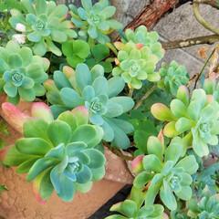 庭/花/ガーデン/多肉植物 お庭の花達💠(8枚目)