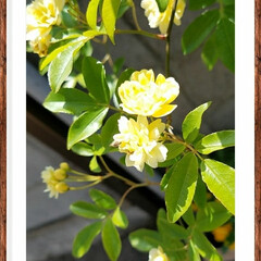 花/黄色/ガーデン/グリーン モッコウバラ