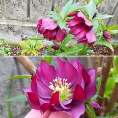 花/庭/クリスマスローズ🥀/ガーデニング/花のある暮らし/ガーデン雑貨/... 庭のクリスマスローズ🥀  ほぼ全種咲き出…(1枚目)
