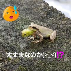 庭/カエル/閲覧注意 ビックリするものを🐸が食べてました〰️😓 (2枚目)