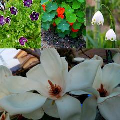 小さい春見いつけた/木蓮/マグノリア/庭の花/春の花/ガーデン/... お庭のお花が咲き始めました😊🍀  先日ア…