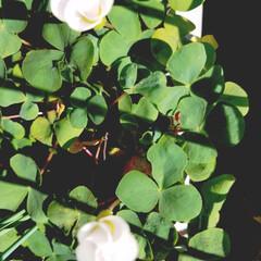 オキザリス/庭の花 庭のオキザリス゚+.゚(*´∀`)b゚+…