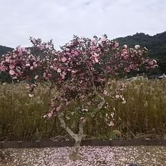 花吹雪/さざんか/冬の花/冬の1枚/冬/おうち/... 冬の花 『山茶花吹雪〰❤』  まるで桜吹…