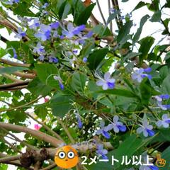 花のある暮らし/庭のある暮らし/茗荷の花/花好き/花/花を楽しむ/... たいへん☝️💦お待たせしました‼️  【…(8枚目)