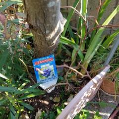 ブルーベリーの苗 ブルーベリー仮植え💦 皆さん真似はしない…