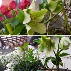 花/庭/クリスマスローズ🥀/ガーデニング/花のある暮らし/ガーデン雑貨/... 庭のクリスマスローズ🥀  ほぼ全種咲き出…(4枚目)