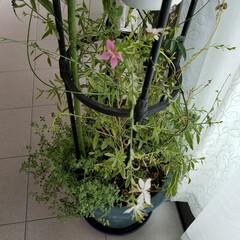テラス/庭/ガウラの花/風景/住まい ガウラの花🌸 別名…ピンクが、やまもも草…