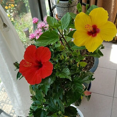 鮮やか/テラス/花/梅雨/ボタニカル/住まい ハイビスカス🌺  赤と黄色の🌺が、この梅…
