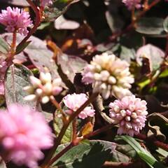 庭/花/ガーデニング/お正月2020/【PR】LIMIAcamp/住まい/...    お庭の花🌼 ♪ヽ(´▽`)/💠🏵️…(2枚目)