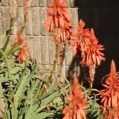 庭/花/ガーデニング/お正月2020/【PR】LIMIAcamp/住まい/...    お庭の花🌼 ♪ヽ(´▽`)/💠🏵️…(9枚目)