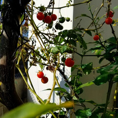 トマト/収穫/野菜/家庭菜園/風景/グルメ/... 🍅寒くなっても健気に熟れてます✨🎵 フル…(4枚目)