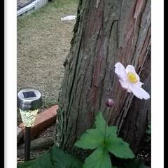お庭/グリーン やっと三年目に咲いたシュウメイギク