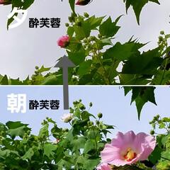 花のある暮らし/庭のある暮らし/茗荷の花/花好き/花/花を楽しむ/... たいへん☝️💦お待たせしました‼️  【…(9枚目)