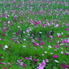 秋桜畑/コスモス/おでかけ/風景/旅 一面💠秋桜