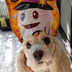 ハロウィン/ペット/犬/100均/袋菓子 🐶『イェーイ💨😁‼』(*´∀`*)ノ 1…
