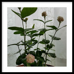 グリーン/花/テラスの花/ジャスミン/癒し系 ジャスミンです💖 白からピンクに変わりま…