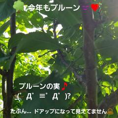 庭の花/テラスの花/テラス/ししとう/八重のくちなし/くちなし/... 中間報告~(*´艸`*)💕 無事☝パッシ…(4枚目)